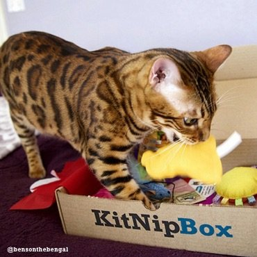 Bengal cat finding a new favorite cat toy in their KitNipBox.