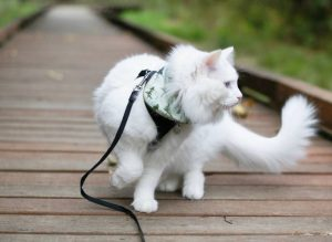 cat outside: being walked outside with harness