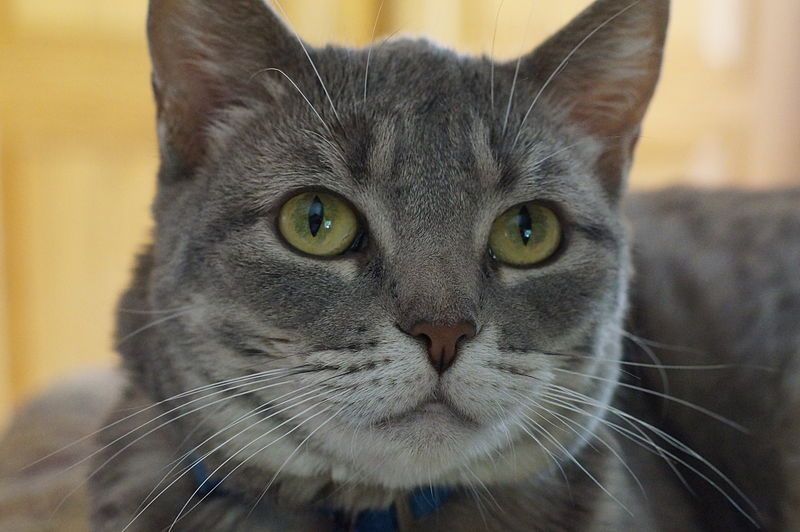 Soft, grey cat with full face whiskers