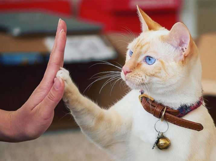 Blonde cat gives a high-five!