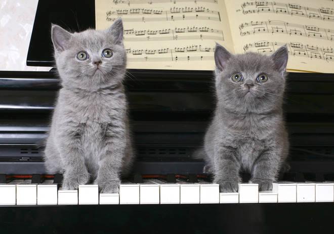 Two gray kitties enjoying music