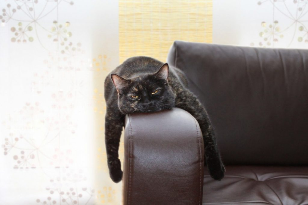 Bored black cat on arm of couch