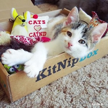 An adorable cat loving their KitNipBox goodies