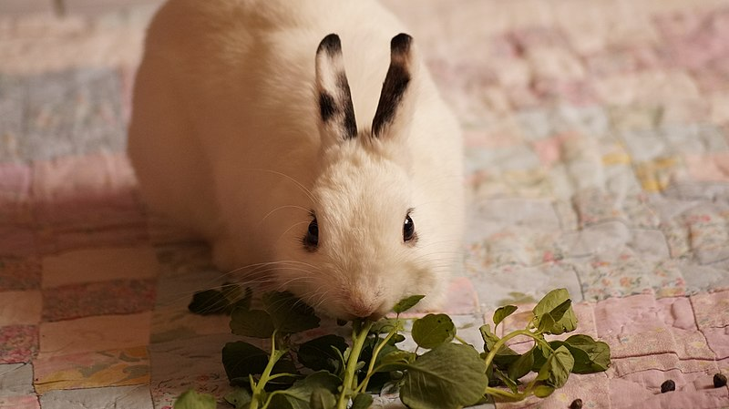 Bunny eating some greens