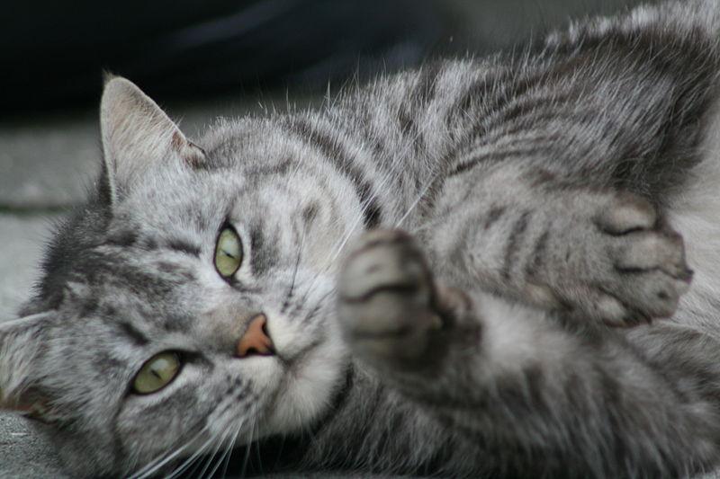Grey cat with green eyes reaching towards camera