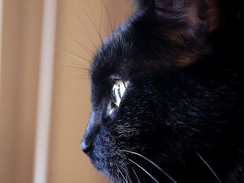 Close-up of the face and whiskers of a beautiful black kitty.