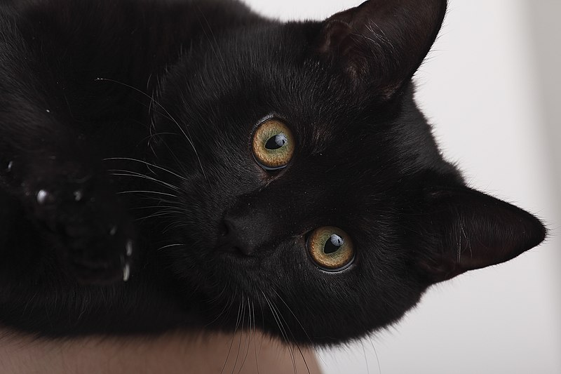 A black cat with orange/amber eyes lays on its side, looking cute!
