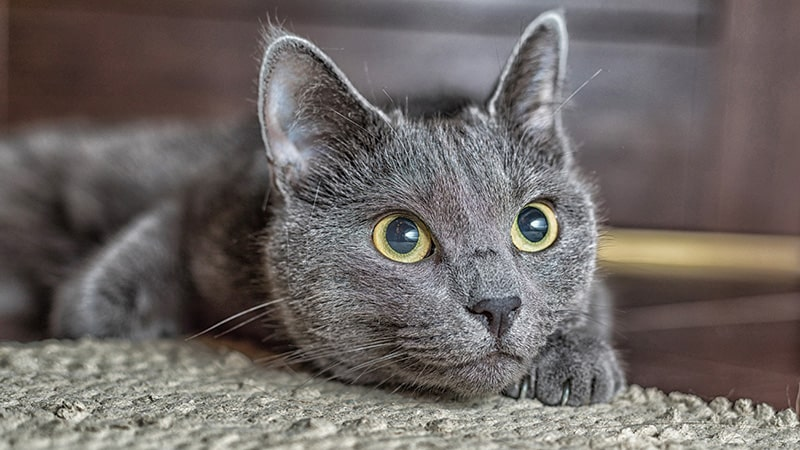 Russian Blue kitty smiles up at human.
